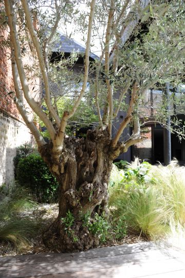 L'olivier, au bord de la piscine et au cœur de cette cour intérieure toute de brique apporte la sérénité de l'éternité et du végétal.