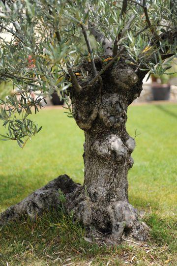 Un arbre ancien à l'apparence originale
