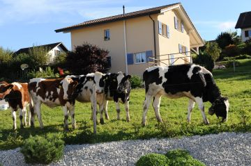 Les vaches à côté de la piscine