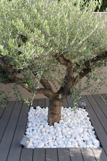 A Valence, un olivier entouré de galets blanc rappelle les charmes de la campagne environnante.